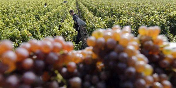 09.09.Raisin.vin.vigne.viticulteur2.Reuters.1280.640