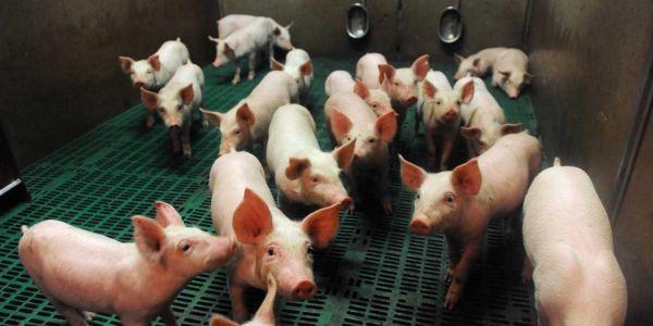 13.08.Porc.elevage.cochon.FRED TANNEAU  AFP.1280.640