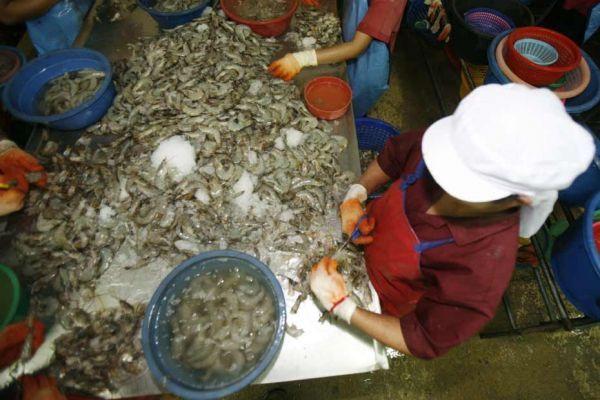 Dans une entreprise de production de crevettes en Thaïlande (Photo d'illustration)