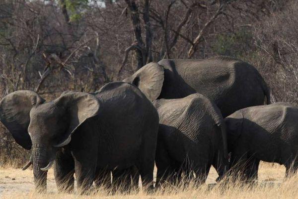 elephants zimbabwe 930