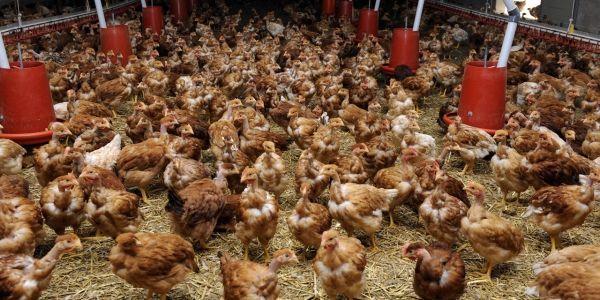 élevage de volailles 1280x640