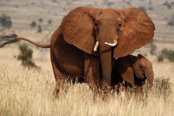 Les éléphants sont victimes d'un braconnage accru. (REUTERS)