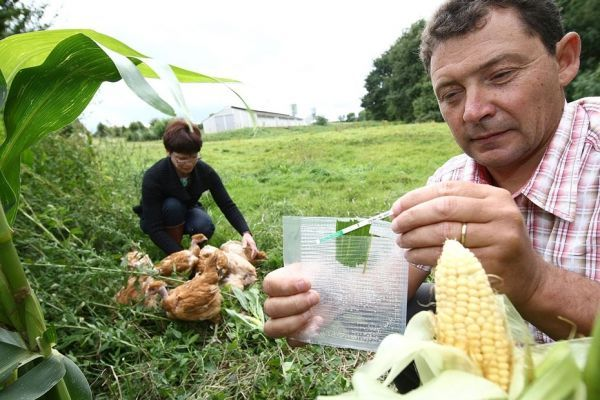 maïs OGM 930x620