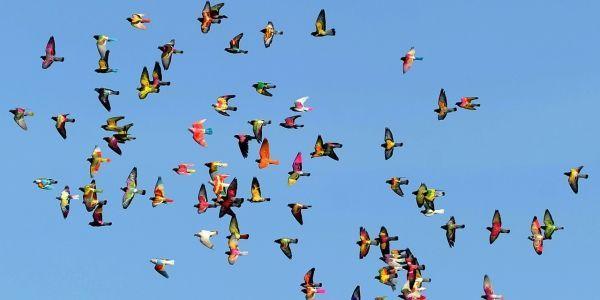 pigeons-1280