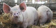 Porc cochon 1280x640