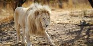 Lion, 1280x640