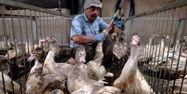 Gavage pour faire du foie gras, 1280x640