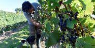 Vigneron Vignes Vendanges 1280