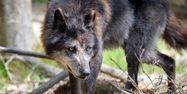 Loup noir du Canada