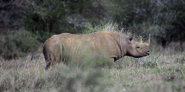 Les rhinocéros seront-ils sauvés par les financiers de la City ?