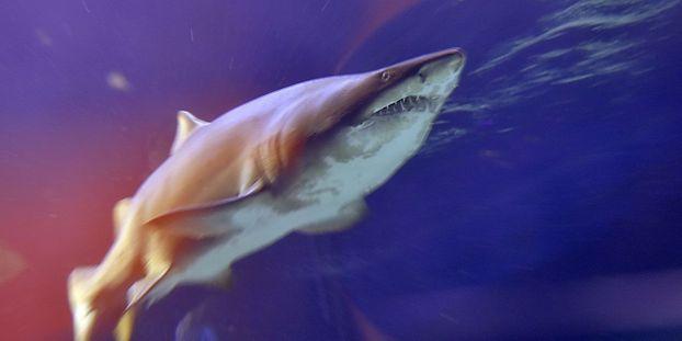Un enfant a la jambe arrachée par un requin à Nouméa
