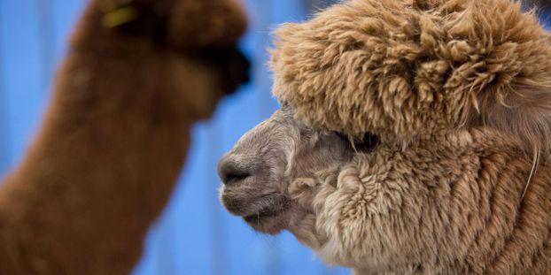 eb00bddc732fc2 Dans le Morbihan, un lama s incruste chez un opticien