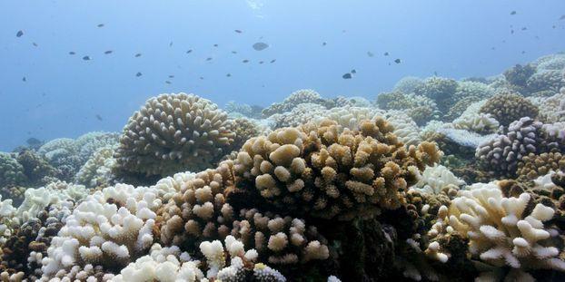 coraux polynésiens