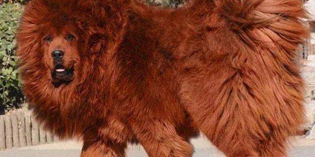 Le Mastiff Tibetain Est Le Chien Le Plus Cher Du Monde