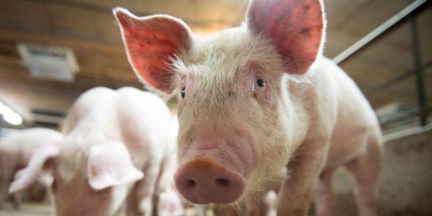 Peste porcine en Asie : la FAO sonne l'alerte sur la surveillance des frontières