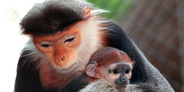 Un singe mang au vietnam en live sur facebook - Le singe d aladdin ...