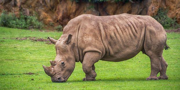 La femelle rhinocéros est morte noyée. Photo d'illustration.