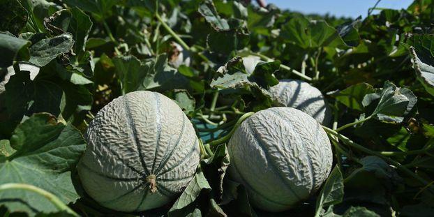 Le melon peut venir agrémenter vos gaspachos.