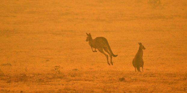 """Incendies en Australie : """"C'est une immense hécatombe"""", déplore le président du muséum d'histoire..."""