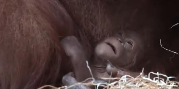 bbc6bb32f35bf Un bébé orang-outan naît au Jardin des Plantes à Paris