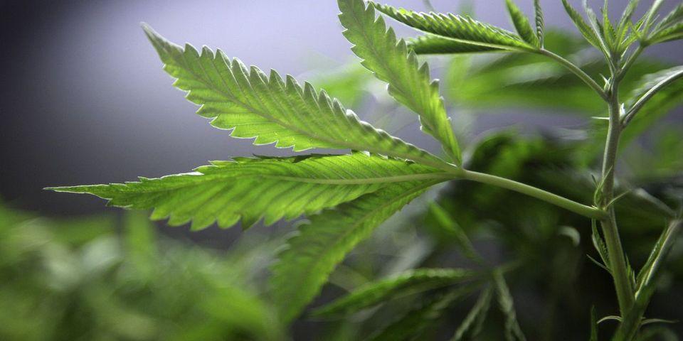 Dans un rapport parlementaire, la députée PS Anne-Yvonne Le Dain préconise une légalisation contrôlée du cannabis dans la sphère privée